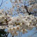 桜Ⅲ … 岩手公園 30日12時19分