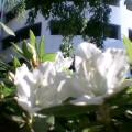 白ツツジ … 盛岡菜園 16時24分