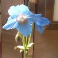 青いケシの花…大通29日12時57分