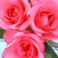 ピンクの薔薇 … 11時46分