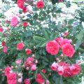 薔薇 … 盛岡内丸6月19日9時28分