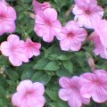 花・雨の滴光り …菜園 16時01分