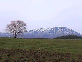 sakurakoiwai050506